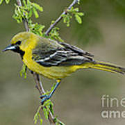 Young Orchard Oriole Art Print