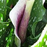 Zantedeschia Named Picasso Art Print