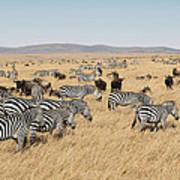 Zebra Migration Maasai Mara Kenya Art Print