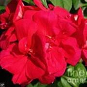 Zonal Geranium Named Candy Cherry Art Print