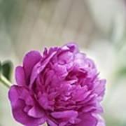 Peony (paeonia Lactiflora) Art Print