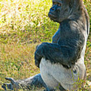 Western Lowland Gorilla Art Print