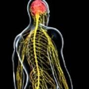 Male Nervous System Art Print