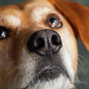 Portrait Of Red Bone Coon Mix Dog Art Print