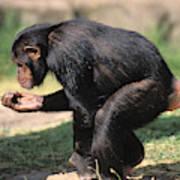 Chimpanze Pan Troglodytes Art Print