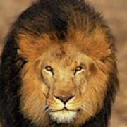 Lion Dafrique Panthera Leo Art Print