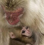 Snow Monkeys, Japan Art Print