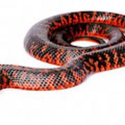 Australian Reptiles On White Art Print