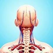 Human Cardiovascular System Art Print