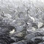 Flock Of Common Crane  Art Print