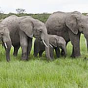 African Elephants Grazing  Kenya Art Print