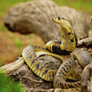 African Snakes Art Print