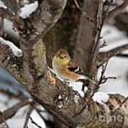 American Goldfinch In Winter Art Print