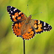 American Painted Lady Butterfly Art Print