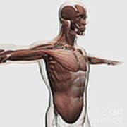 Anatomy Of Male Muscles In Upper Body Print by Stocktrek Images