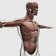 Anatomy Of Male Muscles In Upper Body Art Print