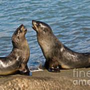 Antarctic Fur Seals Art Print