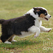 Australian Shepherd Puppy Art Print
