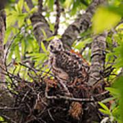 Baby Red Shouldered Hawk In Nest Art Print