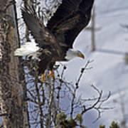 Bald Eagle   #8309 Art Print
