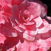 Begonia Named Nonstop Pink Art Print