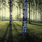 Birch Trees By The Vuoksi River Art Print