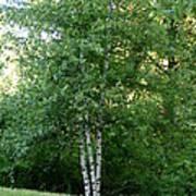 3 Birch Trees On A Hill Art Print