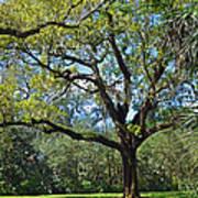 Bok Tower Gardens Oak Tree Art Print