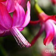 Christmas Cactus In Bloom Print by Thomas R Fletcher