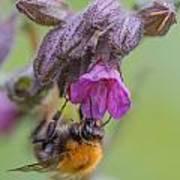 Common Carder Bee Art Print