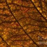 Dogwood Leaf Backlit Art Print