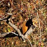 Eastern Fox Squirrel Art Print