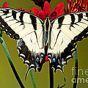 Eastern Tiger Swallowtail Butterfly Art Print