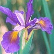 Exotic Iris Art Print