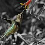 Female Anna's Hummingbird Art Print