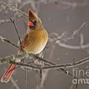 Female Northern Cardinal Art Print