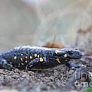 Fire Salamander - Salamandra Salamandra Art Print
