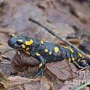 Fire Salamander Art Print