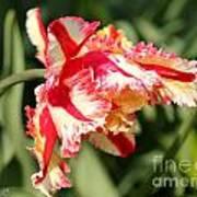Flaming Parrot Tulip Art Print