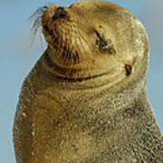 Galapagos Sea Lion Zalophus Wollebaeki Art Print
