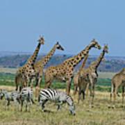 Girafe Masai Giraffa Camelopardalis Art Print