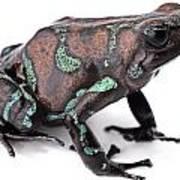 Golden Poison Dart Frog Art Print