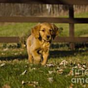 Golden Retriever Pup Art Print by Linda Freshwaters Arndt