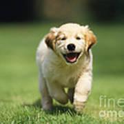 Golden Retriever Puppy Print by John Daniels