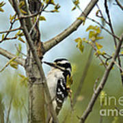 Hairy Woodpecker Art Print by Linda Freshwaters Arndt