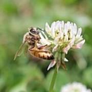 Honeybee On Clover Art Print