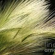 Hordeum Jubatum Grass Art Print