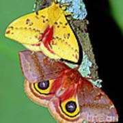 Io Moth Art Print