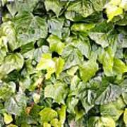 Ivy Art Print by Les Cunliffe