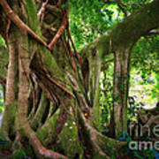 Kipahulu Banyan Tree Art Print